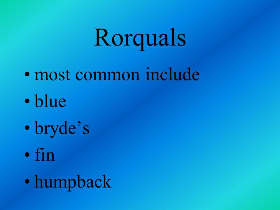 Rorquals most common include blue bryde's fin humpback