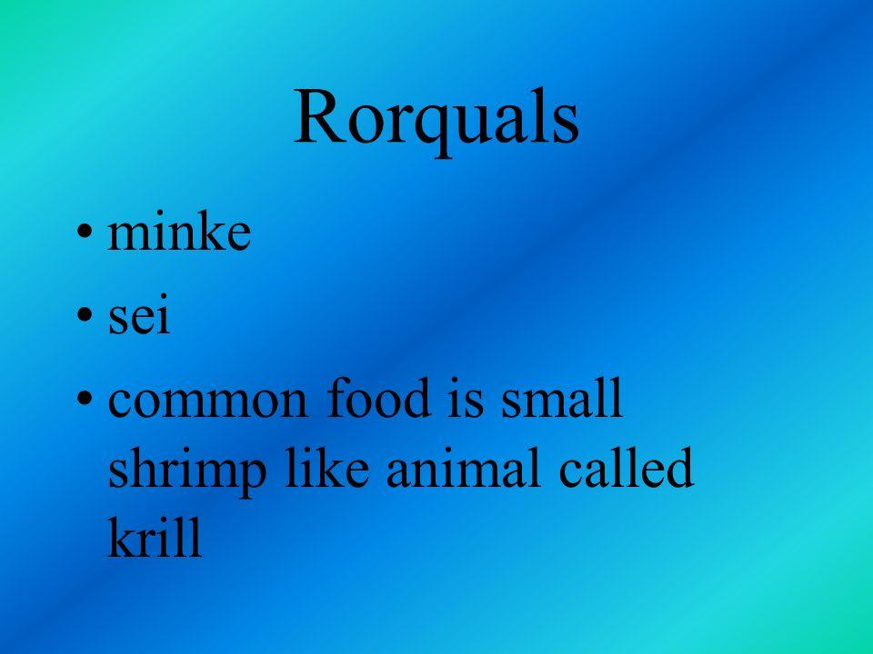 Rorquals minke sei common food is small shrimp like animal called krill