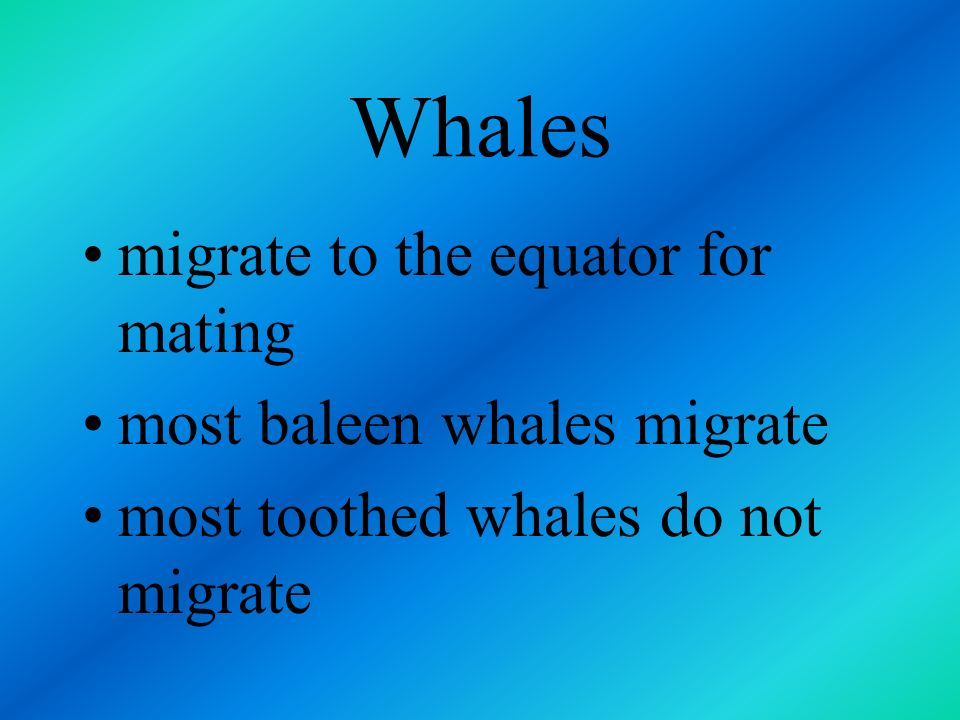 Whales migrate to the equator for mating most baleen whales migrate