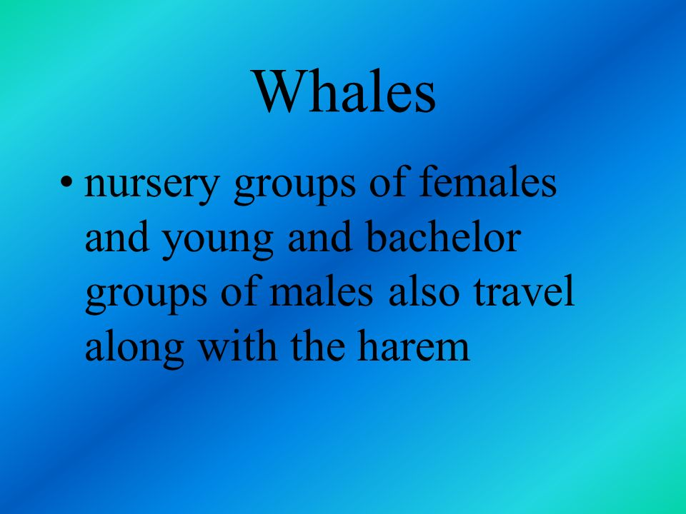 Whales nursery groups of females and young and bachelor groups of males also travel along with the harem.