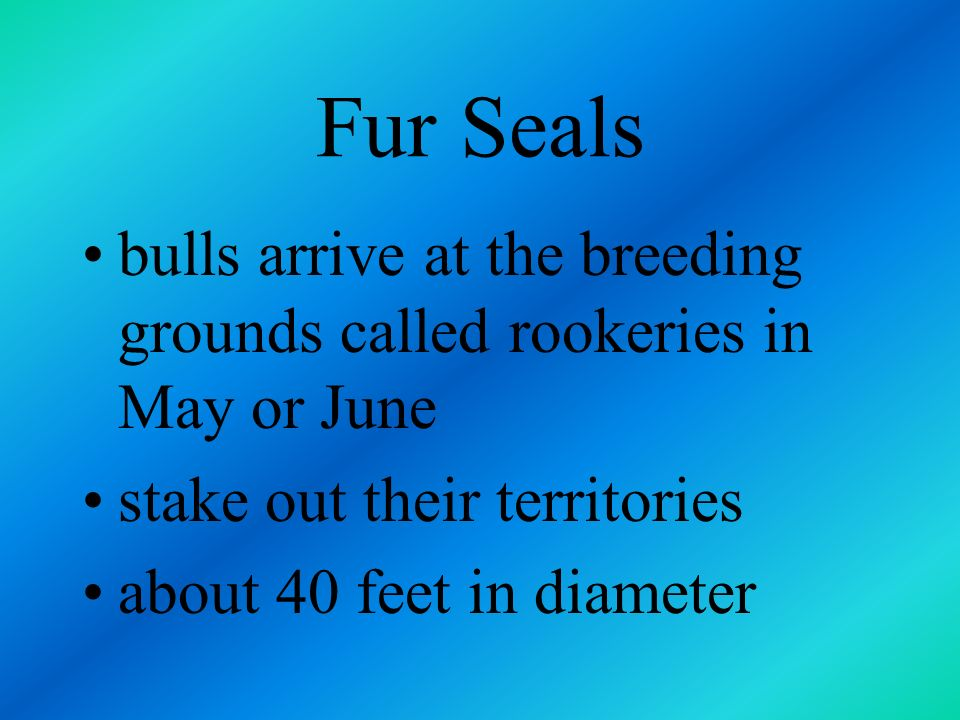 Fur Seals bulls arrive at the breeding grounds called rookeries in May or June. stake out their territories.