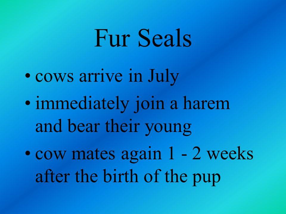 Fur Seals cows arrive in July