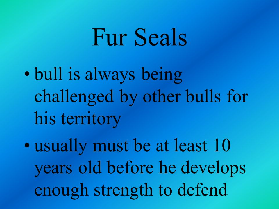 Fur Seals bull is always being challenged by other bulls for his territory.