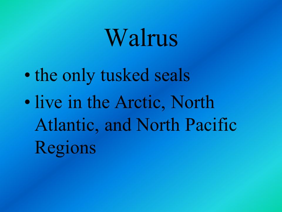 Walrus the only tusked seals