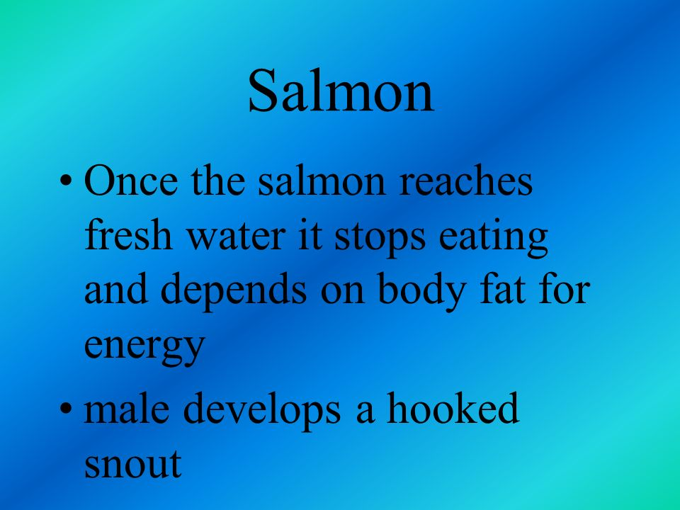Salmon Once the salmon reaches fresh water it stops eating and depends on body fat for energy.