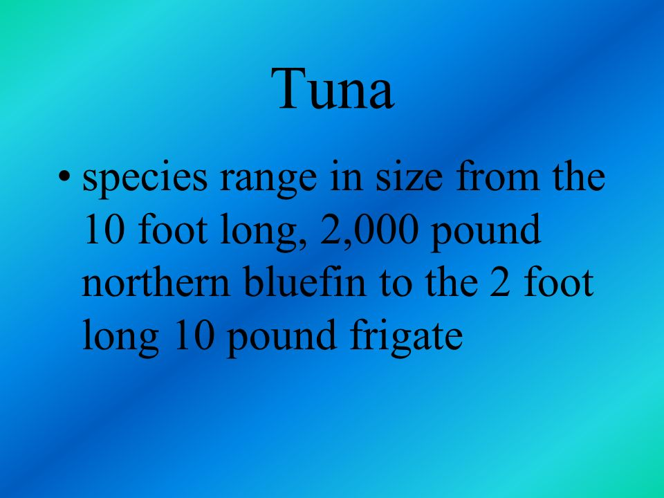 Tuna species range in size from the 10 foot long, 2,000 pound northern bluefin to the 2 foot long 10 pound frigate.