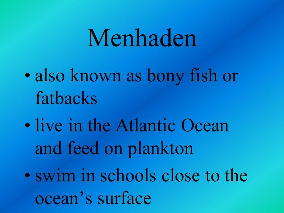 Menhaden also known as bony fish or fatbacks