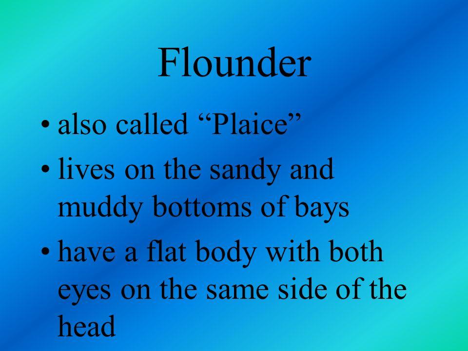Flounder also called Plaice