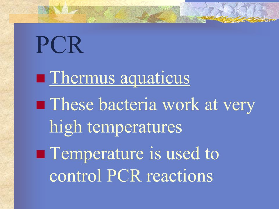 PCR Thermus aquaticus These bacteria work at very high temperatures