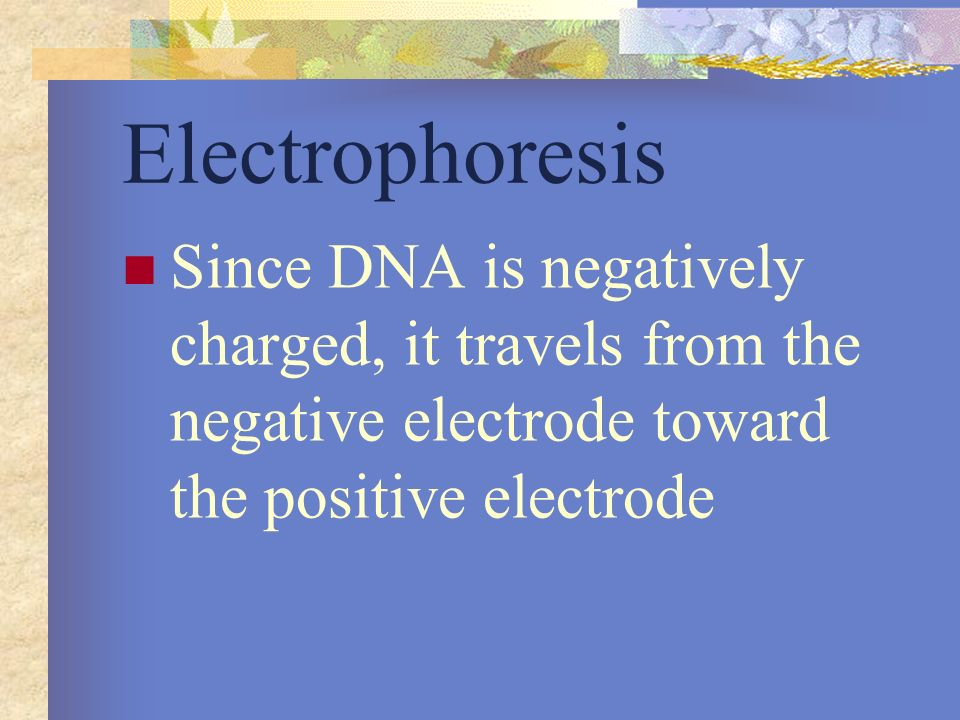 Electrophoresis Since DNA is negatively charged, it travels from the negative electrode toward the positive electrode.