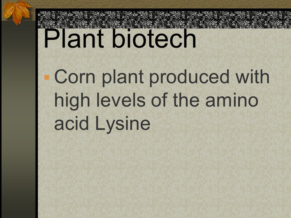 Plant biotech Corn plant produced with high levels of the amino acid Lysine
