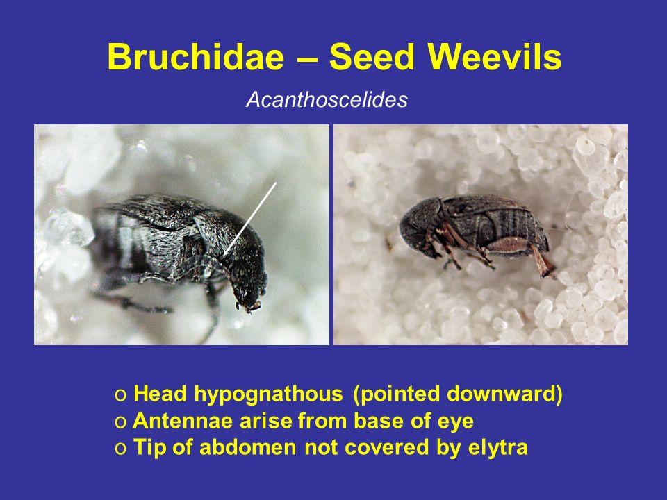 Bruchidae – Seed Weevils