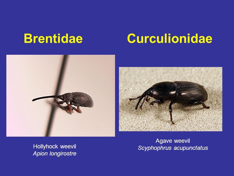 Brentidae Curculionidae