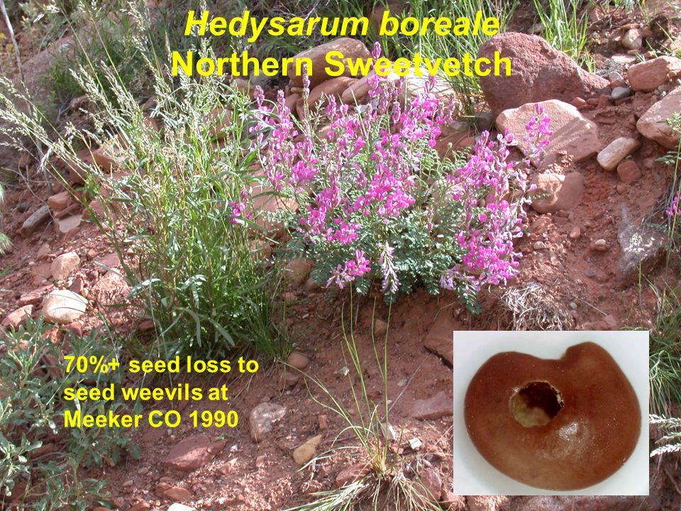 Hedysarum boreale Northern Sweetvetch