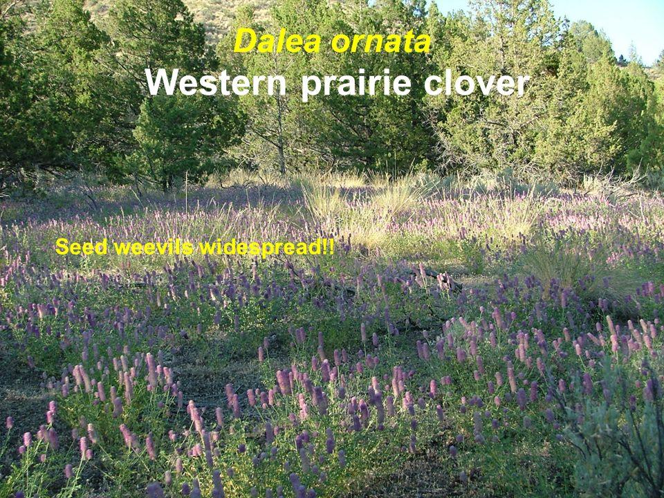 Dalea ornata Western prairie clover