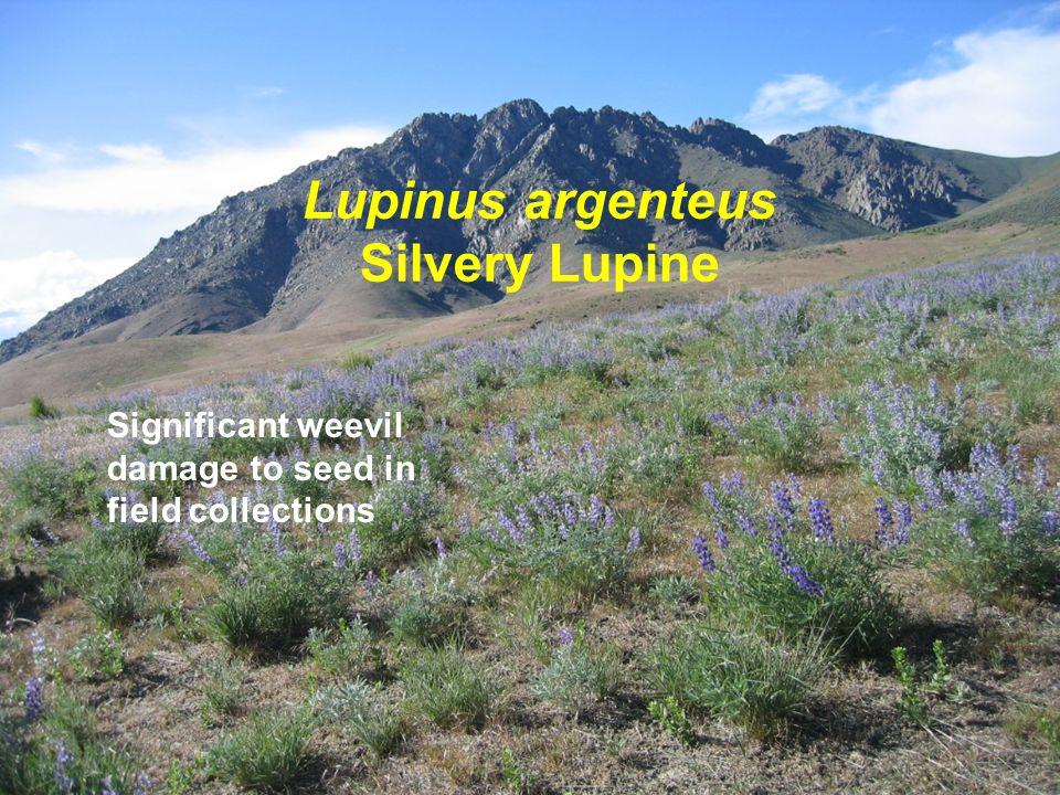 Lupinus argenteus Silvery Lupine