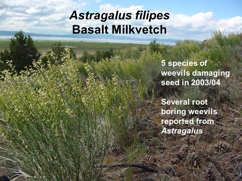 Astragalus filipes Basalt Milkvetch