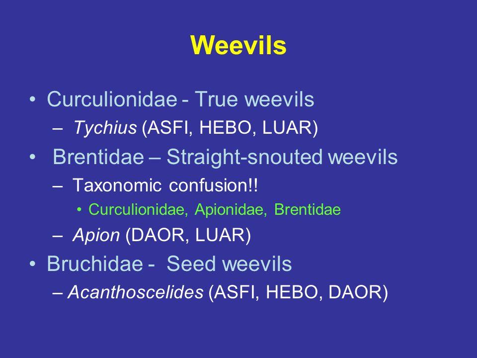 Weevils Curculionidae - True weevils