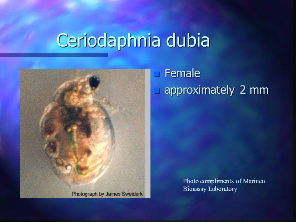 Ceriodaphnia dubia Female approximately 2 mm