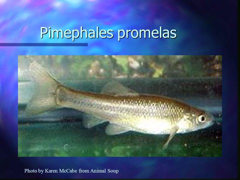 Pimephales promelas Photo by Karen McCabe from Animal Soup