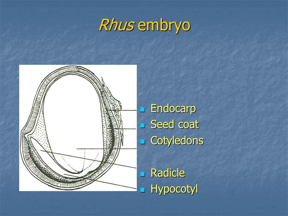 Rhus embryo Endocarp Seed coat Cotyledons Radicle Hypocotyl