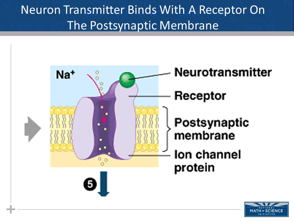Neuron Transmitter Binds With A Receptor On The Postsynaptic Membrane