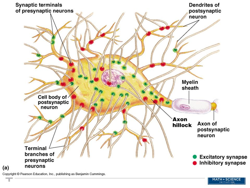 Some synapses are excitatory others inhibitory