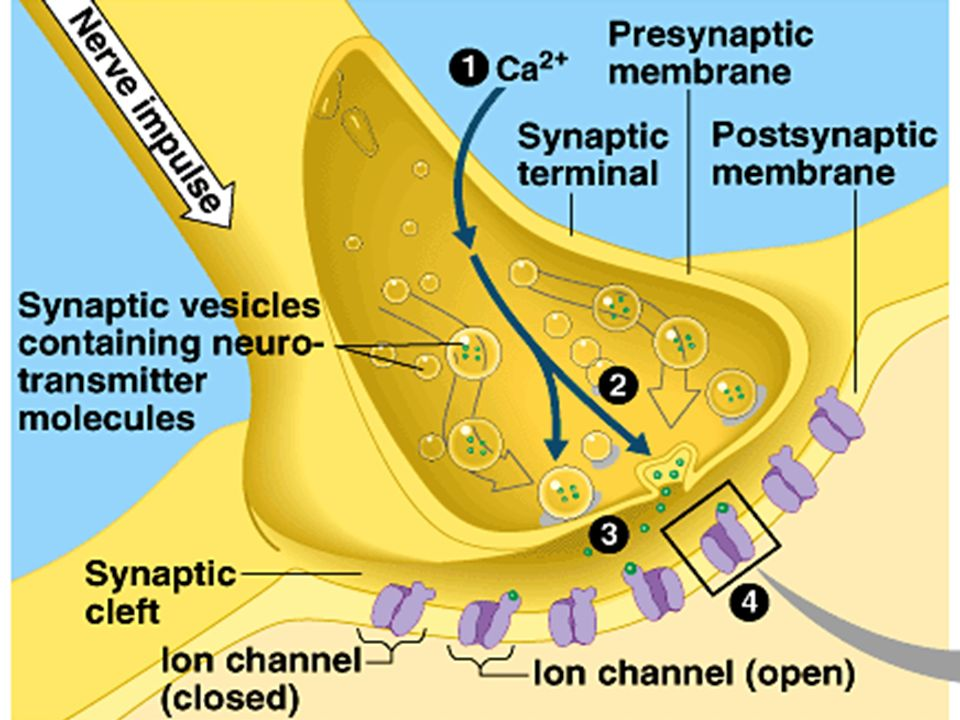 Action potential depolarized the membrane of synaptic terminal, this triggers an influx of Ca2+.