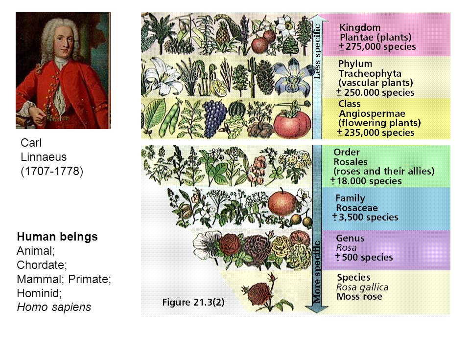 Carl Linnaeus (1707-1778) Human beings Animal; Chordate; Mammal; Primate; Hominid; Homo sapiens