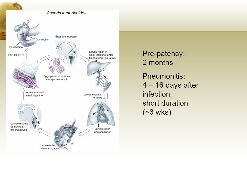 Pre-patency: 2 months Pneumonitis: 4 – 16 days after infection, short duration (~3 wks)