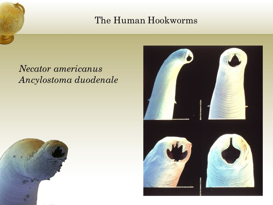 The Human Hookworms Necator americanus Ancylostoma duodenale