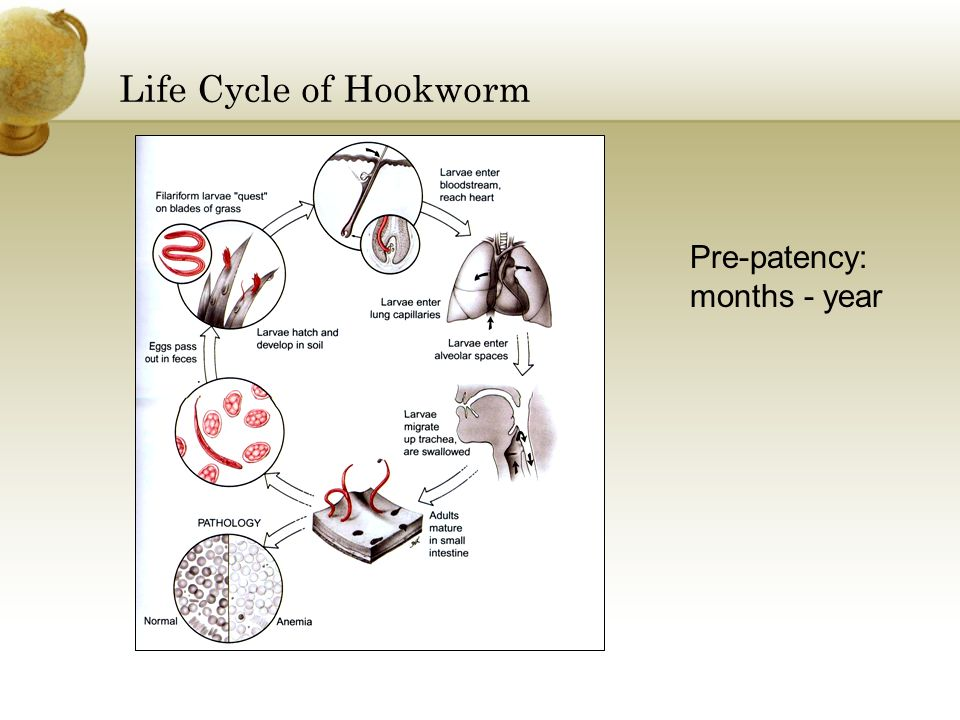 Life Cycle of Hookworm Pre-patency: months - year