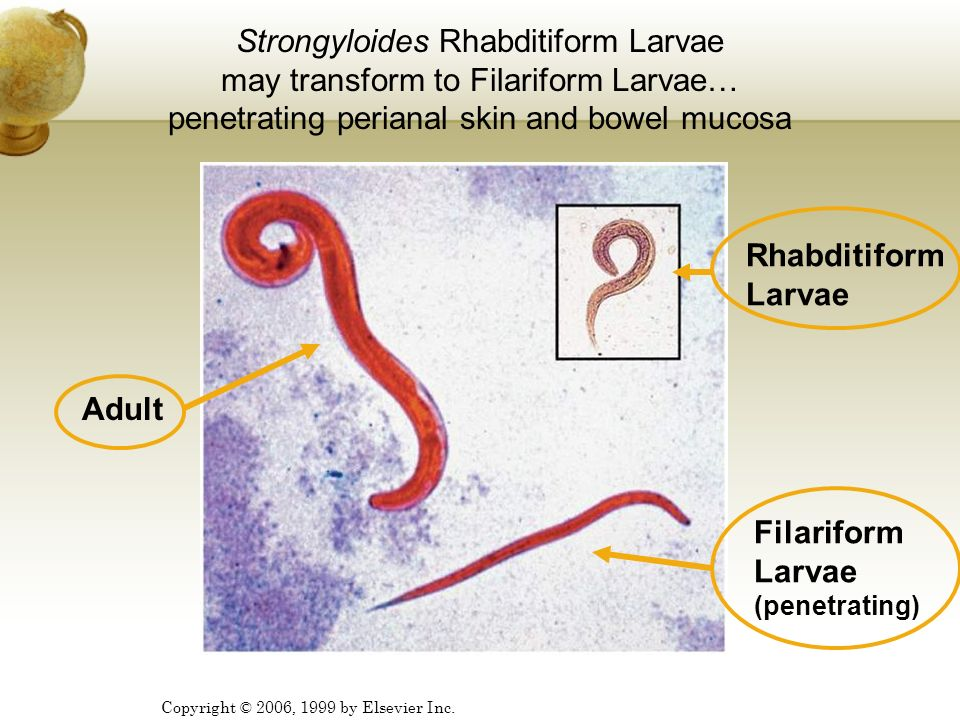 Filariform Larvae (penetrating)
