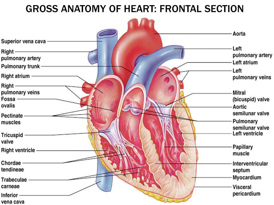 Heart anatomy arteries