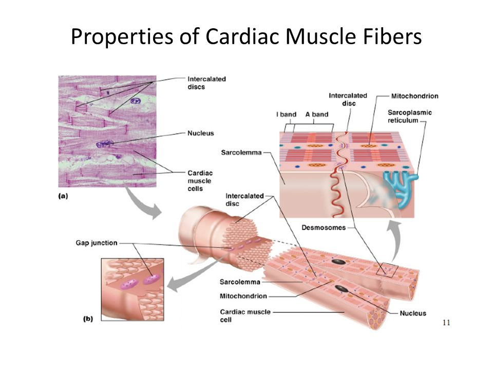 branched cardiac muscle fiber - photo #26