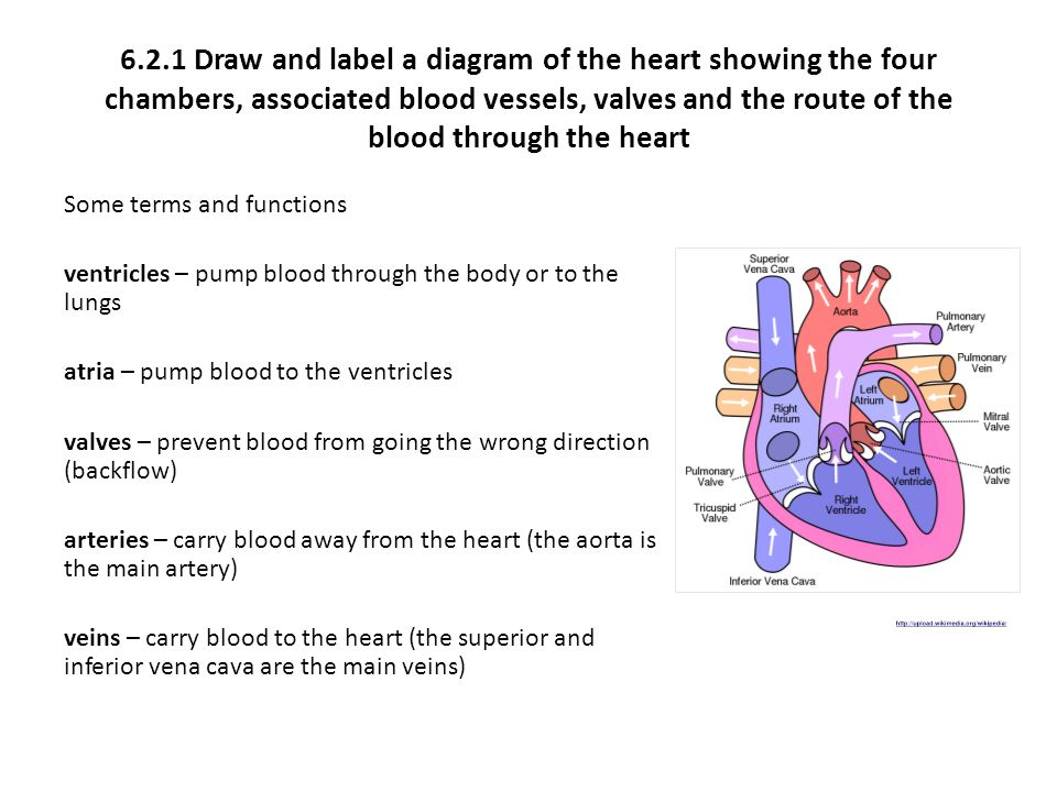 621 draw and label a diagram of the heart showing the four 621 draw and label a diagram of the heart showing the four chambers ccuart