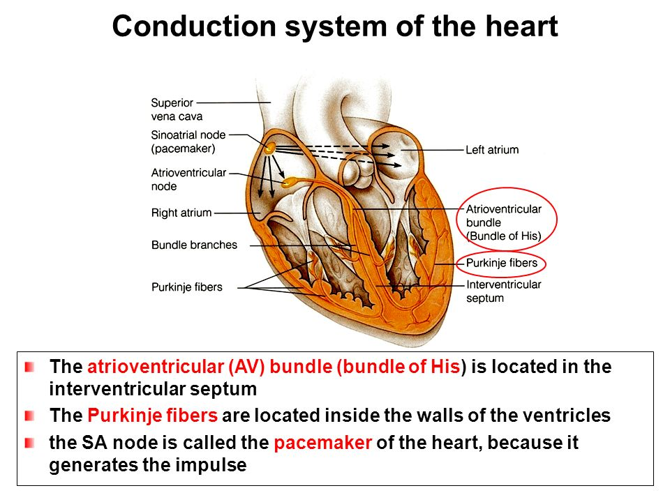 Anatomy of the Heart DR.SANAA AL-SHAARAWI DR.SAEED VOHRA ...