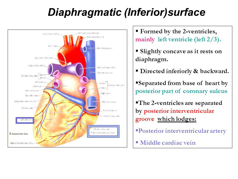 Anatomy of the Heart DR.SANAA AL-SHAARAWI DR.SAEED VOHRA ...  Anatomy of the ...