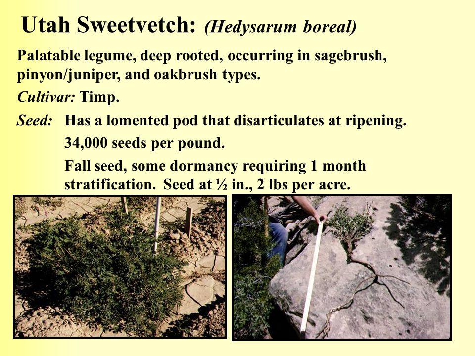Utah Sweetvetch: (Hedysarum boreal)