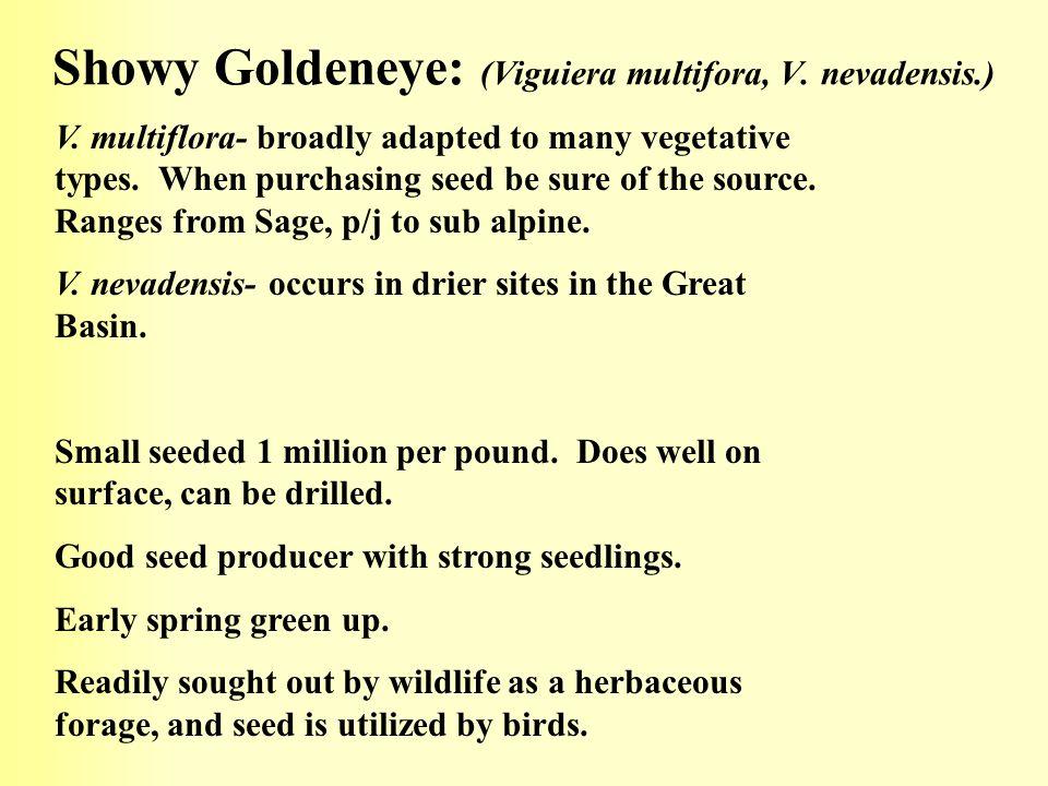 Showy Goldeneye: (Viguiera multifora, V. nevadensis.)