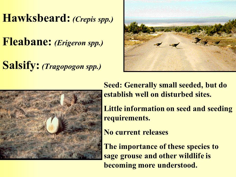 Hawksbeard: (Crepis spp. ) Fleabane: (Erigeron spp