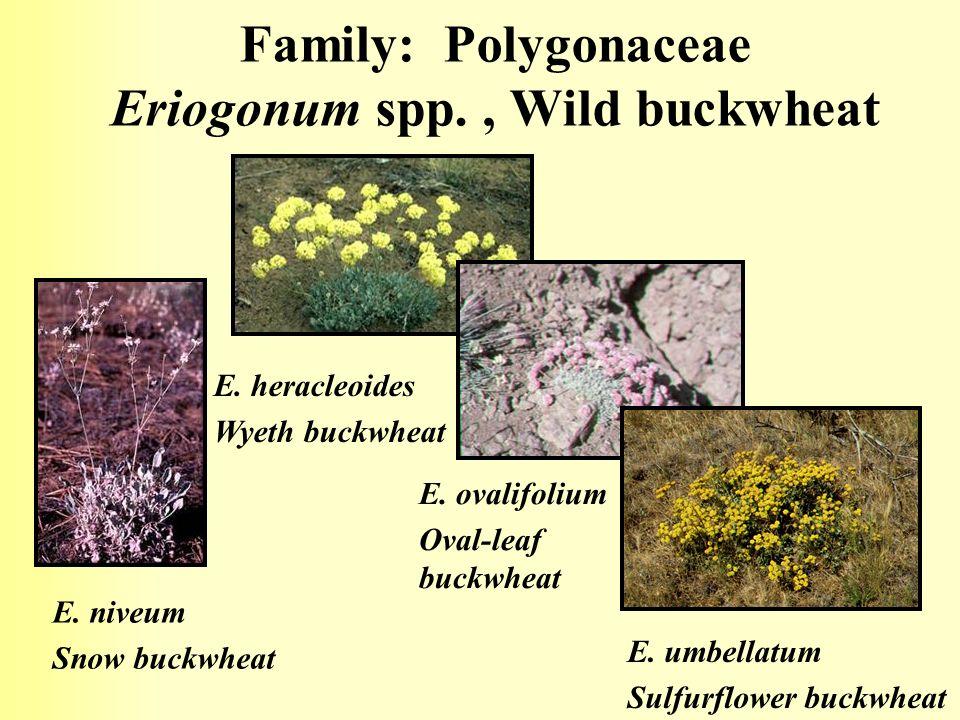 Family: Polygonaceae Eriogonum spp. , Wild buckwheat