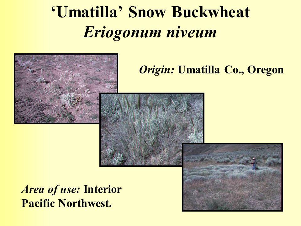 'Umatilla' Snow Buckwheat Eriogonum niveum