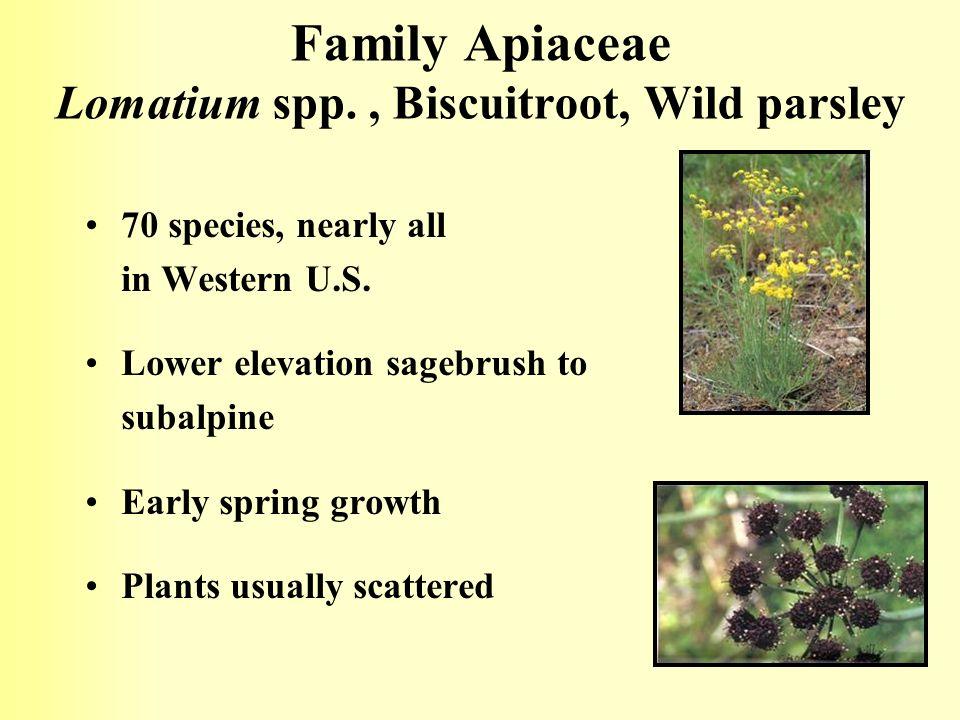 Family Apiaceae Lomatium spp. , Biscuitroot, Wild parsley