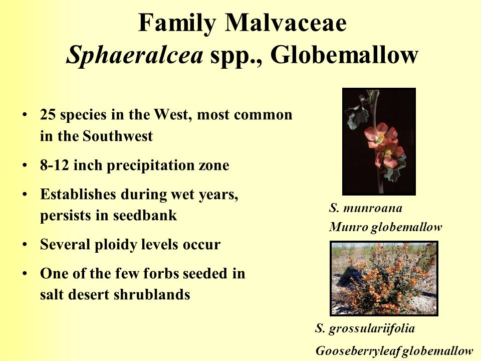 Family Malvaceae Sphaeralcea spp., Globemallow
