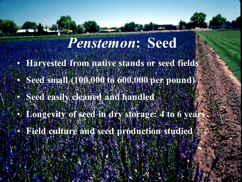 Penstemon: Seed Harvested from native stands or seed fields