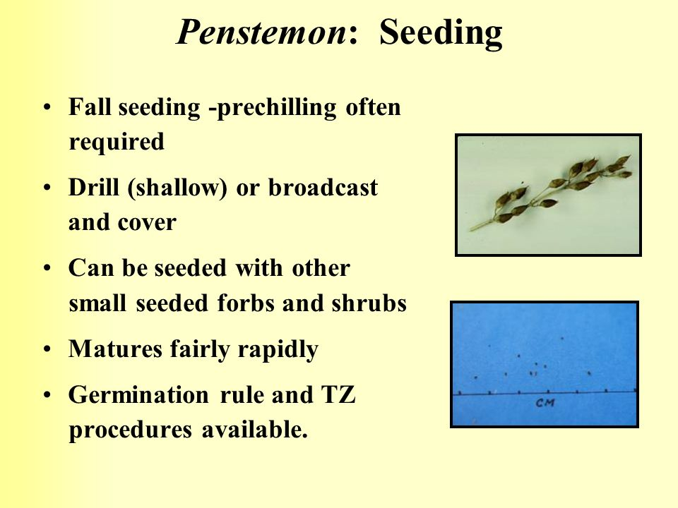 Penstemon: Seeding Fall seeding -prechilling often required