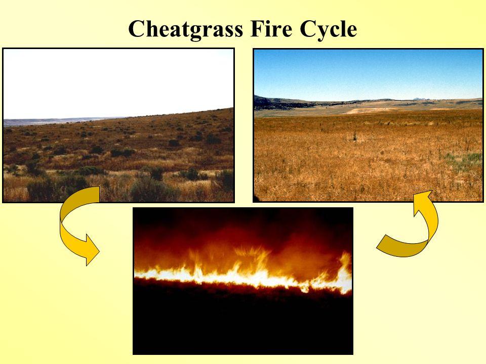 Cheatgrass Fire Cycle