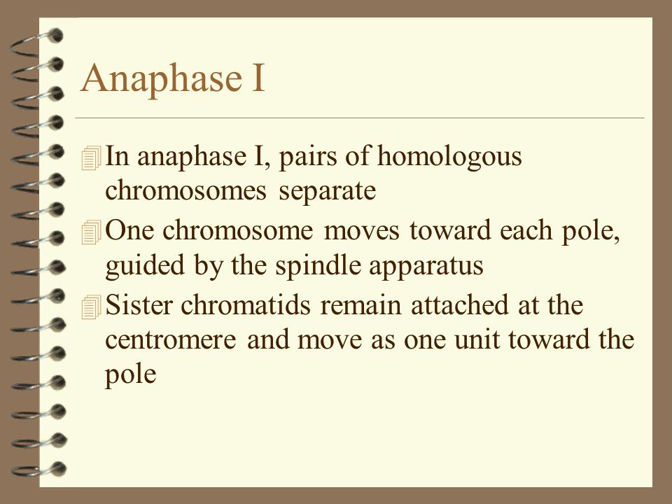 Anaphase I In anaphase I, pairs of homologous chromosomes separate