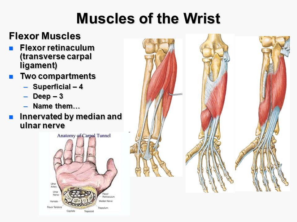 Wrist Muscle Anatomy Choice Image Human Anatomy Organs Diagram